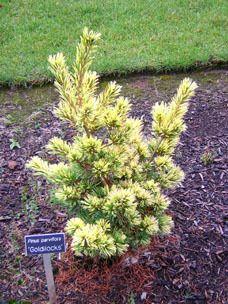 Kigi Nursery - Pinus parviflora ' Goldilocks ' Variegated Dwarf Japanese White Pine, $25.00 (http://www.kiginursery.com/dwarf-miniatures/pinus-parviflora-goldilocks-variegated-dwarf-japanese-white-pine/)