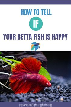 How to tell if your betta fish is happy - Japanesefightingf.- While trying to figure out a Betta's emotional status may sound like a taxing time, happy fish behavior is simple to figure out. Bettas have quite a few signs of their emotional st Betta Fish Tattoo, Betta Fish Care, Baby Betta Fish, Colorful Fish, Tropical Fish, Tropical Aquarium, Freshwater Aquarium Fish, Betta Tank, Pisces