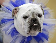 33rd bulldog contest :  33rd annual Drake Relays Beautiful Bulldog Contest