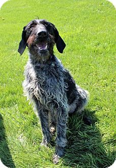 Pet Adoption has dogs, puppies, cats, and kittens for adoption. Adopt a pet German Wirehaired Pointer, Kittens, Cats, Pointers, Pet Adoption, Places To Visit, Meet, Puppies, Dog