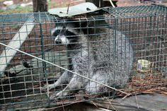 Raccoon trapping tips