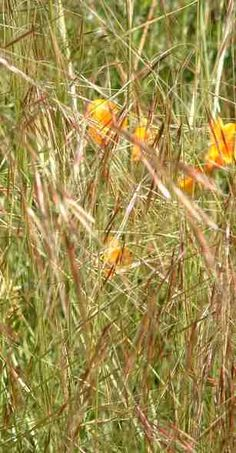 Purple Needlegrass- Stipa pulchra and Ca Poppy for the canyon Arbutus Marina, Perennial Ground Cover, Stipa, California Native Plants, Beneficial Insects, Evergreen Trees, Natural Garden, Ornamental Grasses, Small Trees