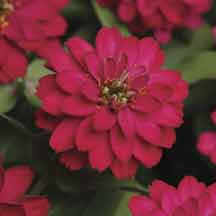 Double Cherry Zahara Zinnia- Like its partner, Double Fire, these neat and symmetrical 12 to 14 inch plants bear loads of fully double, 2-1/2 inch blooms of deep cherry red from spring until frost. Heat tolerant and sun-loving with bred-in resistance to leaf spot and mildew diseases. Early to bloom in just 8 to 10 weeks from sowing. Works well in containers as well as beds and borders.