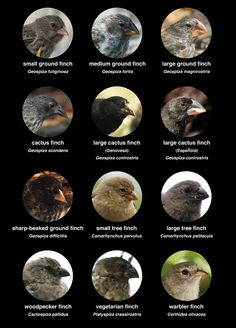 Darwin's finches (also known as the Galápagos finches) are a group of about 15 species of passerine birds that evolved from a single original species. The smallest is the Warbler Finch and the largest is the Vegetarian Finch. The most important differences between species are in the size and shape of their beaks, and the beaks are highly adapted to different food sources.