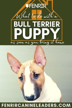 Collecting your Bull Terrier puppy but not sure what to do when you get it home? Check out our lastest upload looking at the top things to do as soon as your puppy gets home! More awesome dog information at Fenrir Canine Show and Fenrir Canine Leaders. Bull Terrier Puppy, Terrier Dog Breeds, Dog Information, Fun Size, Medium Sized Dogs, Dog Care, Training Tips, Small Dogs, Best Dogs