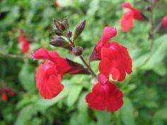 Autumn Sage 'Maraschino' (Salvia greggii)