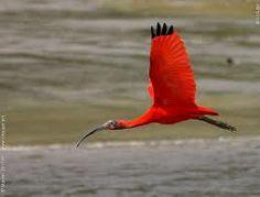 scarlet ibis - Google Search
