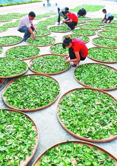 Anxi Tieguanyin Tea Harvest - China travel photos offers the image tour of Anxi and its Tie Guan Yin – a superior variety of oolong tea in China. Chinese Black Tea, Different Types Of Tea, Tea Plant, Tea Culture, Oolong Tea, My Cup Of Tea, Matcha Green Tea, Tea Ceremony, Tea Time