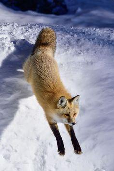 Red Fox by ktjensen54 - Kathi Jensen on 500px