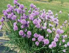 Chives plant in bloom. Chives flowers can be used as a garnish.