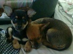 Dino my dog as puppy