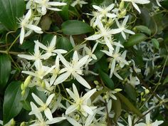 IMAGE 16. Clematis aristata will be the Australian plant climber on the glass louvers (Proudley n.d)