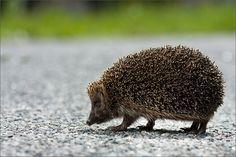 A hedgehog by Robertas Daskevicius