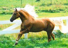 Palomino Morab Stallion, Royal Topaz (aka my horse's dad)