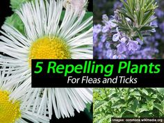 5 Plants That Repel Ticks and Fleas