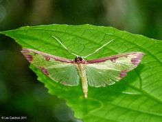 Moth (probably Cadarena pudoraria)