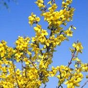 Botanical name: Forsythia x intermedia 'Week End'    Other names: Forsythia 'Week End', Golden bells 'Week End', Forsythia x intermedia 'Courtalyn', Forsythia x intermedia 'Week-End', Forsythia 'Weekend' Click image to learn more, add to your lists and get care advice reminders each month.