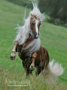 .Loesdau Horse