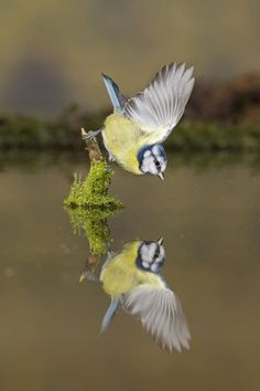 a blue tit pauses to admire its crystal clear reflection in a pool in Suffolk