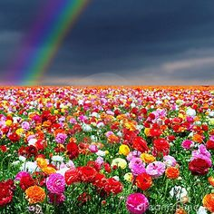 Field of flower under a rainbow, relation the hot air balloon was rainbow
