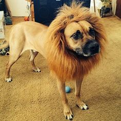 Looching Lion Mane Costume Big Dog Lion Mane Wig Large Dog CostumesWig Pet Festival Halloween Party Fancy Hair Clothes Dress Suppliers(Neck Within 80 Cm,adjustable) *** For more information, visit image link. (This is an affiliate link and I receive a commission for the sales)