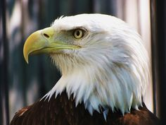 Photo American bald eagle IMG_8812 by Walter Jagiello on 500px