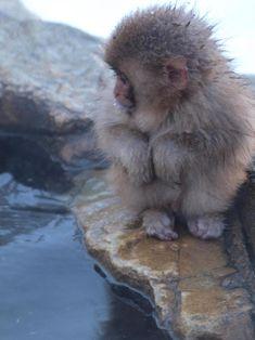 Baby Snow Monkey