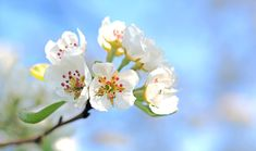 Apple Blossoms, Apple Tree, Spring, Blossom, Bloom