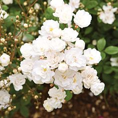 Mini Rose  'Gourmet Popcorn' rose  Light:Sun,Part Sun Plant Width:To 2 feet wide Rosa 'Gourmet Popcorn' produces cascading clusters of fragrant snowy-white flowers all season on a disease-resistant plant. It grows 2 feet tall. Zones 5-9