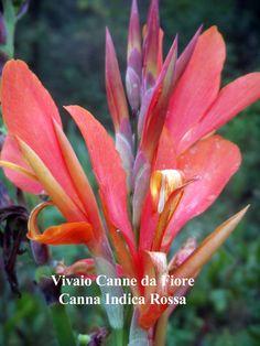 CANNA INDICA ROSSA Canna originale, alta 1,5-2,00 mt, molto robusta grandi foglie verde brillate. cresce molto velocemente e molto scenica in una bordura, bulbosa estiva, canna lily, indian shot