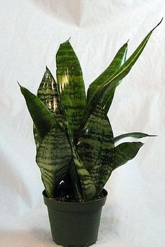 """Snake Plant, Mother-In-Law's Tongue - Sanseveria - 4"""" Pot Hirts: Snake Plant http://www.amazon.com/dp/B005FC8QY0/ref=cm_sw_r_pi_dp_hzM.tb0WWMF98"""