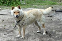 "Lifelike appearance to the sheep is a topic too cute! Personality Sanin temperament of land Dog Tottori Prefecture ""Sanin Shiba Inu"" 