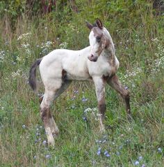 Wild Roan Foal on the incline of a Hill. More