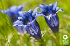 -BLEN: Flores de Bach- This is the Bach Flower remedy Gentian. Gentian is a part of the group of 'insecurity'. The Bach flower remedy Gentian is an effective way to treat people who have suffered a setback.
