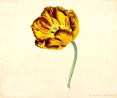 Noorde, Cornelis van (1731-1795)Title:Tulip: Bizard Duc d'AnjouDate of creation:1765
