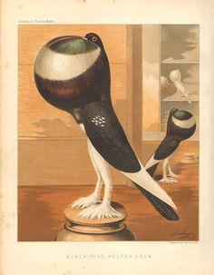 1880 PIgeon Chromolithograph