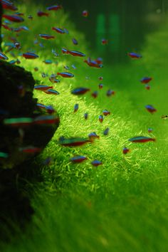 Or, perhaps Cardinal Tetras instead of neons?