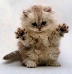 MEDICAL AFFLICTION: DIAGNOSIS: Severe self- loathing KITTEN: \ If dis wuz mirror here me woulds destroy meself.\ PROGNOSIS: With intense therapy kitten can lost interest in current affliction. All will be well for a bright future.