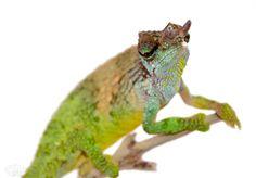 Fischers chameleon for sale reptiles phibbins pinterest pfeffers chameleon trioceros pfefferi male wild caught male from cameroon thecheapjerseys Images