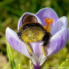 Fuzzy bee butt. Picture of a bee with pollen all over. #bee #art