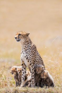 Cheetah mom & kits