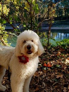 My hiking buddy, Meggie the MC Goldendoodle