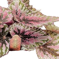 Pink Charming Begonia- One of over 400+ varieties from Exotic Angel Plants®