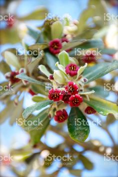 Pittosporum crassifoliumis a small tree or shrub native to New. Small Trees, Native Plants, Image Now, Shrubs, New Zealand, Garden Ideas, Flora, Royalty Free Stock Photos, Pink