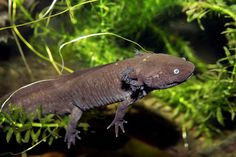 Axolotl (critically endangered, known for regenerating original tissue, no scarring)