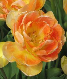 Double Late Tulip 'Charming Beauty'