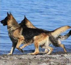 Beautiful GSD's at the Lake(or ocean cant really tell :) )