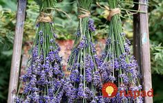 DIY Cracked Heels Remedies ~ How to harvest and dry lavender for use in crafts. Tutorials and recipes for lavender wreath, eye pillows, bath salts, foot soak, and more! Growing Lavender, Lavender Plants, Lavander, Lavender Ideas, Lavender Flowers, Lavender Decor, Lavender Recipes, Lavender Wreath, Real Nature