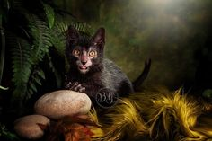 Lykoi Cat Breed on Display at World Cat Congress 2014-slide4