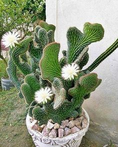 Excellent Free cactus plants ideas Suggestions Plants plus cacti will be the perfect property design pertaining to minimalists and pattern setters– withou Unusual Plants, Exotic Plants, Exotic Flowers, Beautiful Flowers, White Flowers, Cacti And Succulents, Planting Succulents, Cactus Plants, Planting Flowers